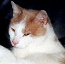 Picture of my red/white cat Benni